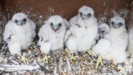 Chi Chicks
