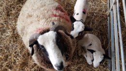 Brinsbury Lambs