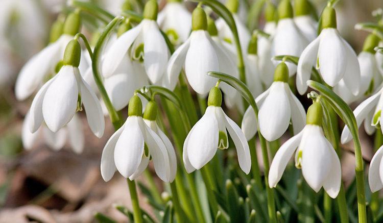 Snowdrop Plants
