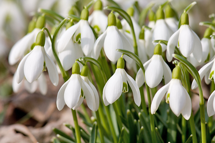 Don T Faint Flower How A Single Snowdrop Bulb Sold For