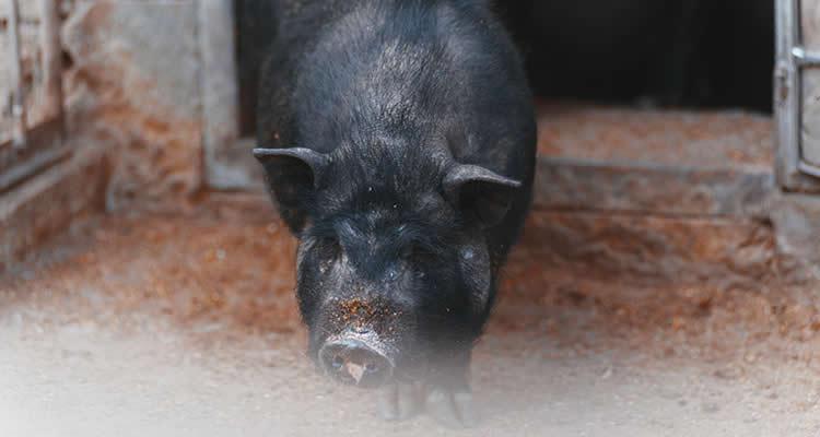 Horris Aldingbourne Trust Black Hog