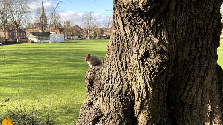 Priory Park Squirrel
